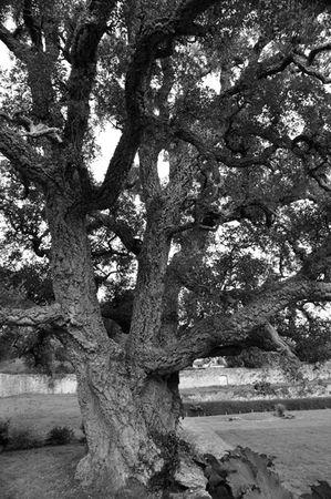 arbre-3110-Gonnevillechene