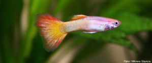 r-GUPPY-MALE-large570.jpg
