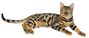 800px-Brown_spotted_tabby_bengal_cat.jpg