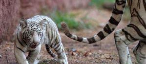 bébé tigres