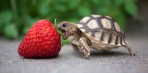 Turtle-Wants-Strawberry.jpg