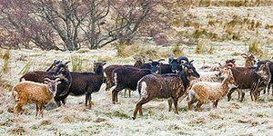 330px-Soay sheep at Inverchor 1