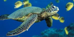 51212206green-sea-turtle-jpg