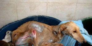chien-GALGOS-petition-avaaz.jpg