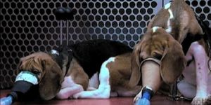 http://img.over-blog.com/300x150/5/23/68/10/DOSSIER-3-NOVEMBRE-2012/CHIENS-VIVISECTION.jpg