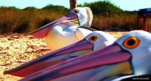 Pelicans, Shark Bay, WA, Australia copy