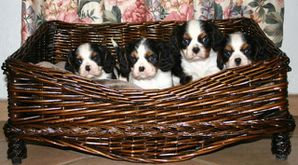 photo1-chiots-cavalier-king-charles-tricolore-3x2x5x1w33668.jpg