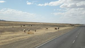 On the road - Llamas 1