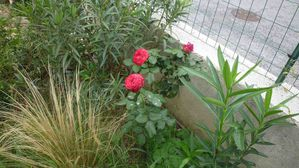 BOUTURES ROSE 2 ANS