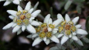 Edelweiss2-2_1.jpg