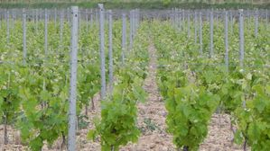 PLANTATION-VIGNE_119-14-AVRIL-2012.JPG