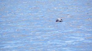 2.Phoque sauvage Île de Molène 01 août 2012