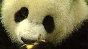 lci-tf1-un-panda-le-31-aout-2006-2210000.jpg