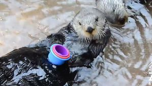 Nellie-the-Sea-Otter-stacks-cups-at-Point-Defiance-Zoo.jpg