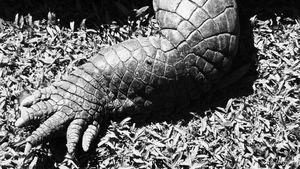 Crocodile, Cooktown, Far North Queensland copy