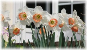 narcisses -copie-1