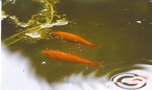 21poisson-rouge-Neuvy-98.jpg