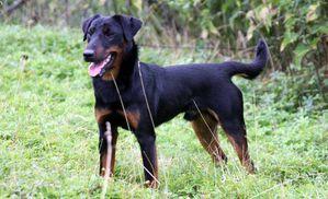 Jagd-Terrier.jpg
