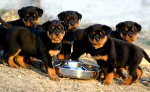 Bubbles___Rottweiler_Puppies_by_RiotGirl102793.jpg