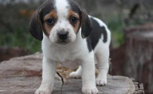 1269732459_84042669_1-Pictures-of--Beagle-puppy-for-adoptio.jpg