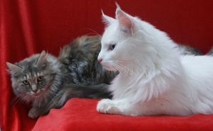 ice-and-maine-coon-cats.JPG