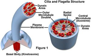cilia-and-flagella