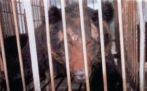 horreur fermes a ours chine urgence animaux bragance face b