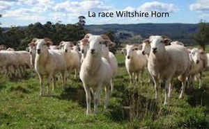 wiltshire horn sheep-copie-1