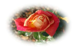 rose-1920.jpg
