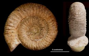 Stephanoceras pyritosum 1