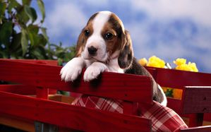 beagle_puppy-wide.jpg