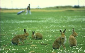 North-Bull-Island-hares-one.jpg