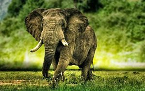 African-Elephant-Wallpapers-1-copie-1.jpg