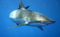 requin soyeux wikipedia