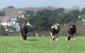 297 3 Vaches noires & Phare