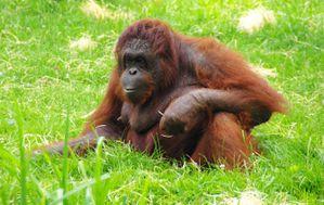 orang-outan (zoo de beauval)