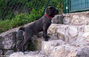 343790-animaux-chiens-cane_corso.jpg