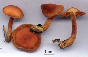 Cortinarius-cinnabarinus.jpg