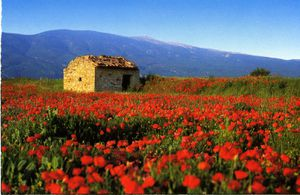 Provence-champs-coquelicots.jpg