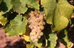 raisin chenin