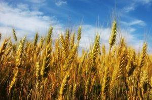 le blé sur pied