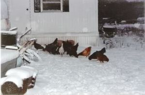 Snow-chickens.jpg