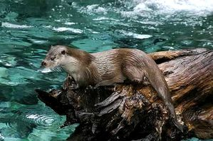 Loutre_des_pyrenees_baronnies_2004-wiki.jpg