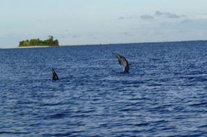 Chagos dauphins