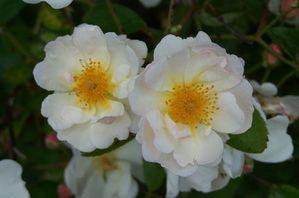L'histoire du jardin qui devient une roseraie