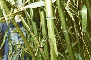 800px-Bamboo.jpg