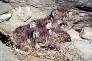 800px-Mountain_lion_kittens.jpg