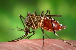 Aedes aegypti during blood meal