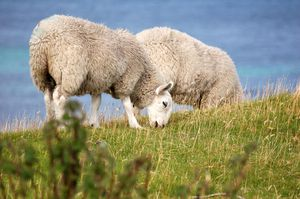 Couple-of-sheep.jpg