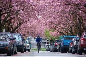 Cerisiers-fleurs.jpg